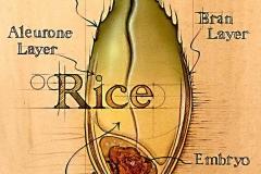 NatSci-Anatomy-of-Rice
